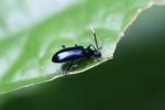Indigo-blue beetle
