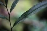 Green katydid in hiding posture [kalbar_0417]