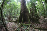 Buttress roots of a rainforest tree [kalbar_1479]