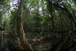 Gunung Palung rainforest [kalbar_1381]