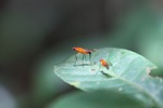 Orange flies with purple eyes [kalbar_0473]