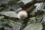 White spherical flower [kalbar_0475]