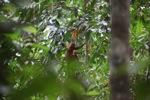 Maroon Leaf Monkey (Presbytis rubicunda) [kalbar_0481]