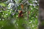 Maroon Langur (Presbytis rubicunda) [kalbar_0490]