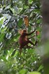 Maroon Leaf Monkey (Presbytis rubicunda) [kalbar_0485]