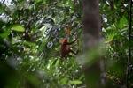 Maroon Leaf Monkey (Presbytis rubicunda) [kalbar_0497]
