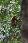 Maroon Langur (Presbytis rubicunda) [kalbar_0494]
