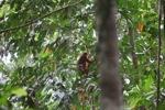 Red Leaf Monkey (Presbytis rubicunda) [kalbar_0507]
