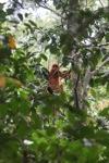 Maroon Leaf Monkey (Presbytis rubicunda) [kalbar_0505]