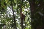 Maroon Leaf Monkey (Presbytis rubicunda) [kalbar_0509]