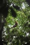 Maroon Langur (Presbytis rubicunda)