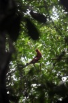 Red Langur (Presbytis rubicunda) [kalbar_0488]