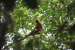 Maroon Leaf Monkey (Presbytis rubicunda)