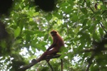 Maroon Langur (Presbytis rubicunda) [kalbar_0478]