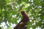 Red Leaf Monkey (Presbytis rubicunda) in the rainforest canopy [kalbar_0523]