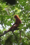 Red Langur (Presbytis rubicunda) in the rainforest canopy [kalbar_0528]