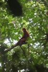 Red Leaf Monkey (Presbytis rubicunda) in the rainforest canopy [kalbar_0547]