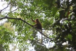 Red Langur (Presbytis rubicunda) in the rainforest canopy [kalbar_0532]