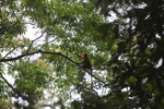 Maroon Leaf Monkey (Presbytis rubicunda) in the rainforest canopy [kalbar_0545]