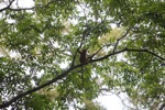 Red Langur (Presbytis rubicunda) in the rainforest canopy