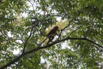 Maroon Leaf Monkey (Presbytis rubicunda) in the rainforest canopy
