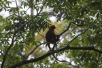 Red Leaf Monkey (Presbytis rubicunda) in the rainforest canopy