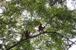 Red Leaf Monkeys (Presbytis rubicunda) [kalbar_0560]