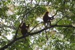 Red Leaf Monkeys (Presbytis rubicunda)