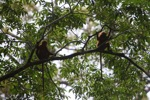 Maroon Leaf Monkeys [kalbar_0588]