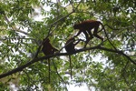 Red Leaf Monkeys [kalbar_0593]