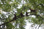 Group of Maroon Leaf Monkeys in the rain forest canopy