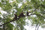 Group of Red Leaf Monkeys in the rain forest canopy