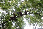 Maroon Langurs in the rain forest canopy