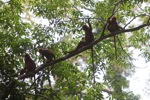 Maroon Leaf Monkeys in the rain forest canopy