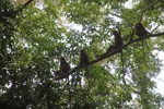 Red Leaf Monkeys in the rain forest canopy