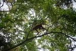 Red Leaf Monkey [kalbar_0618]