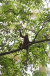 Maroon Leaf Monkey [kalbar_0632]