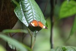 Orange butterfly in Borneo [kalbar_0647]