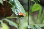 Orange butterfly in Borneo