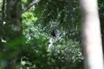 Borno white-bearded gibbon (Hylobates albibarbis) [kalbar_0653]