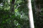 Borno white-bearded gibbon (Hylobates albibarbis) [kalbar_0655]