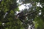 Bornean white-bearded gibbon (Hylobates albibarbis) [kalbar_0660]