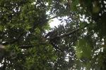 Borno white-bearded gibbon (Hylobates albibarbis) [kalbar_0657]