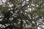 Borno white-bearded gibbon (Hylobates albibarbis) [kalbar_0659]