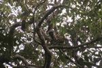 Bornean white-bearded gibbon (Hylobates albibarbis)