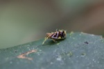 Purple, yellow, and brown planthopper [kalbar_0668]