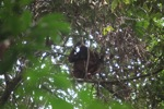 Young orangutan in Gunung Palung [kalbar_0693]