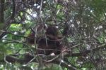 Young orangutan in Gunung Palung [kalbar_0694]