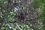 Young orangutan in Gunung Palung [kalbar_0696]