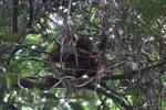Young orangutan in Gunung Palung [kalbar_0690]